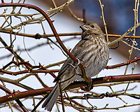 Crossed-bill/beak finch or female house finch (?) on a vine. Backyard winter nature in New Jersey. Image taken with a Nikon D2xs camera and 80-400 mm VR lens (ISO 100, 400 mm, f/10, 1/400 sec).