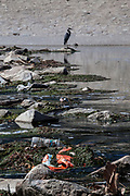 Great Blue Heron amidst trash in the Los Angeles River. Urban runoff carries an assortment of trash and debris from city streets to the river where it empties to the Pacific Ocean. Los Angeles, California, USA