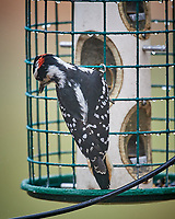 Hairy Woodpecker at the Bird Feeder. Image taken with a Nikon D5 camera and 600 mm f/4 VR telephoto lens.