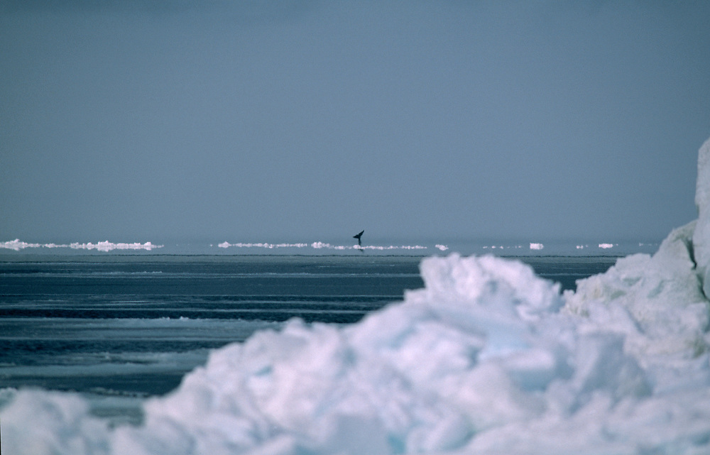 A Bowhead whale sighting amongst Chukchi Sea ice near Barrow Alaska
