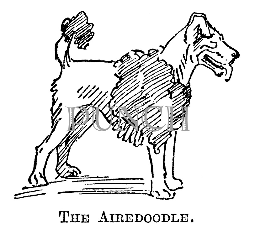 The Airedoodle.