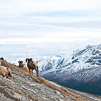 trophy bighorn ram  big mountain background