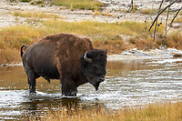 American Bison (Bison bison) crossing river, Yellowstone National Park, Wyoming, USA   Photo: Peter Llewellyn