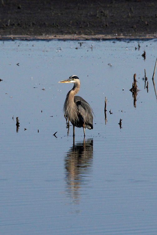 The great blue heron is commonly found by shores of open water and in wetlands of North and Central America plus the Caribbean and the Galapagos Islands.