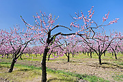 Peach orchard in bloom<br />