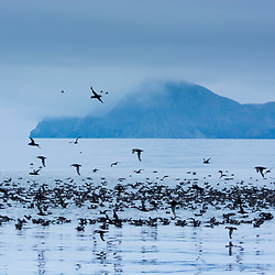 Short-Tailed Shearwaters gather at Unimak Pass, Aleutian Islands, Alaska