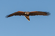 Harris's hawk in flight tilts its tail to steer in the direction it is looking, blue sky background, © 2012 David A. Ponton