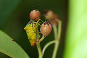Hawthorn shield bug pausing on the berry of a Cotoneaster in an urban garden.