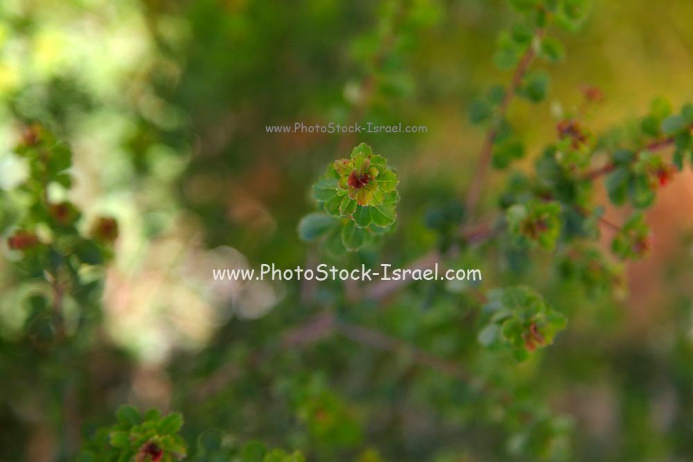 Rhus crenata (Dune Crow-berry) in a garden