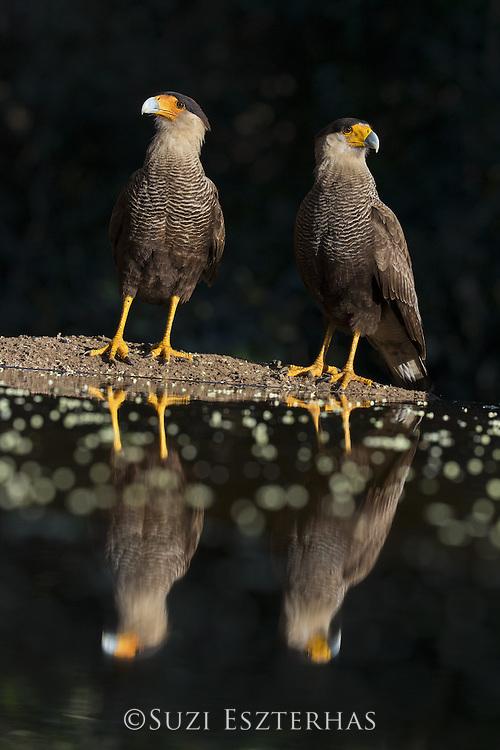 Southern-crested Caracara<br /> Caracara plancus<br /> Pantanal, Brazil