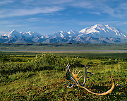 Denali National Park, AK, USA<br /> Mt. McKinley and The Alaska Range.<br /> Caribou Rack on the Tundra.<br /> Wonder Lake Area.