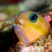 Midas Blenny, Ecsenius midas, hiding in its rocky home at Silvertip Bank, Burma Banks in Myanmar