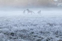 Brokenhurst, Hampshire, UK. November 19th 2016. Horses frolic in the frost and mist near Brockenhurst in the New Forest, Hampshire.