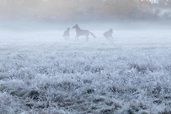 Brokenhurst, Hampshire, UK. November 19th 2016. Horses frolic in the frost and mist near Brockenhurst in the New Forest, Hampshire.