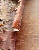 Birch bark, North Cascades Washington USA