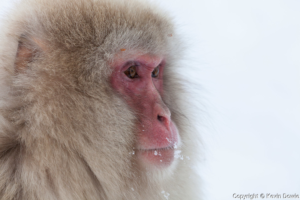 Snow monkey profile