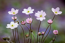 Hepatica acutiloba × Hepatica nobilis
