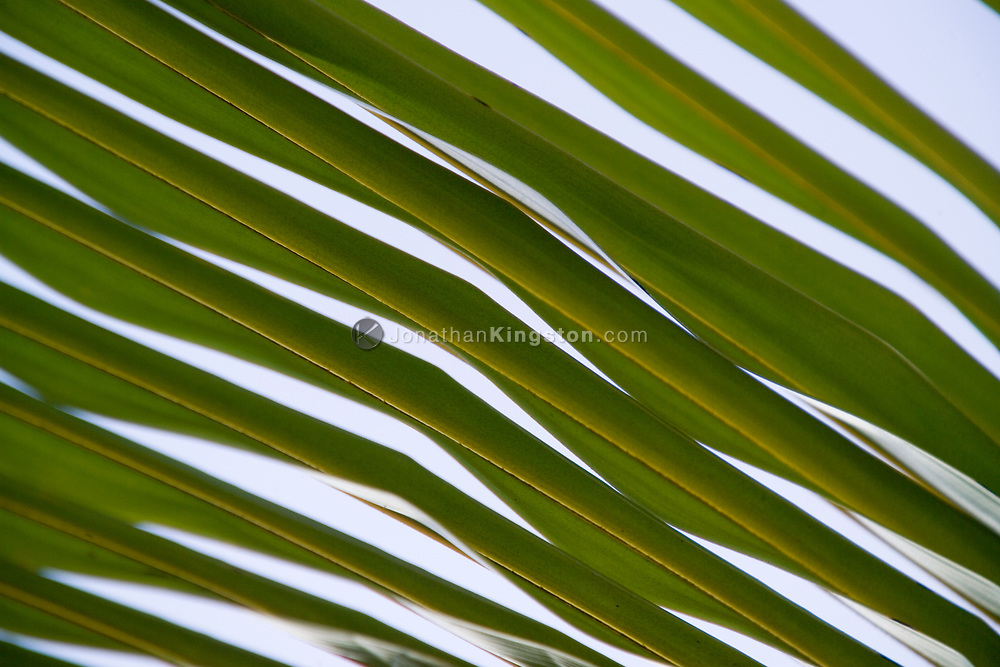 MOLOKAI, HI – A close up of palm fronds, Molokai, Hawaii.