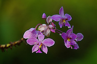 Orchid (Spathoglottis pacifica)