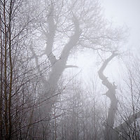 Trees in a misty park in winter
