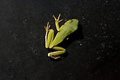 American Green Tree Frog, Hyla cinerea