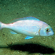 Red Porgy hover and swim around reefs, rocky outcroppings and adjacent sand areas in Florida and continental coast from New York to Argentina; picture taken Panama City, Panhandle, FL.