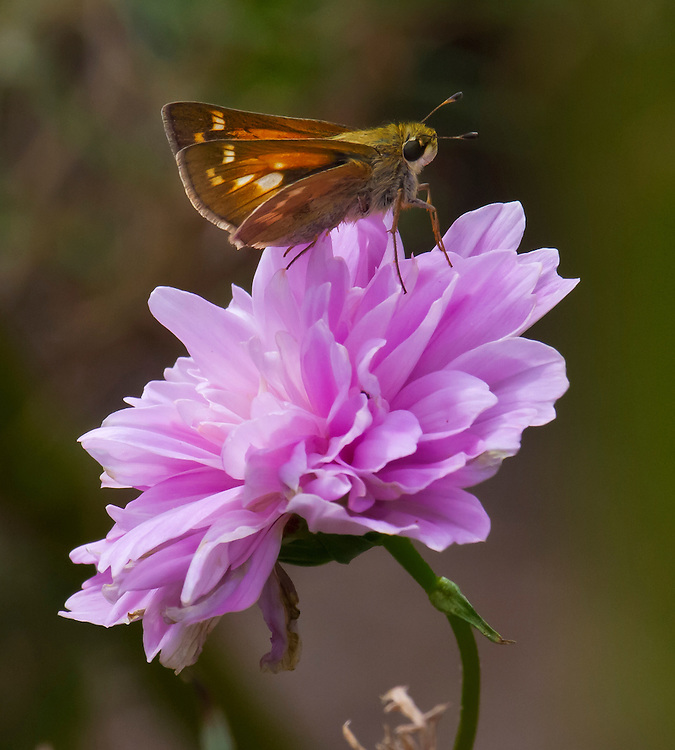 A skipper on a purple flower. Lily Pond.