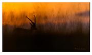Grant's gazelle in the hour before sunrize. Nikon D5, 600mm, f4, EV-0.67, 1/800sec, ISO500, Aperture priority