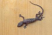 Common House Gecko, Hemidactylus frenatus; Hawaii.