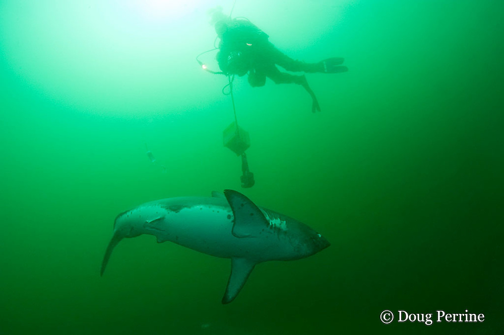underwater cameraman John Friday uses Red camera to videotape salmon shark, Lamna ditropis, Port Fidalgo, Prince William Sound, Alaska, U.S.A.; this apex predator, sometimes called the Pacific porbeagle, is a mackerel shark in the order Lamniformes; it swims in cold water, but is warm-blooded ( homeothermic )