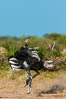 Male ostrich doing a mating dance (to attract female ostrich), Nxai Pan National Park, Bostwana.