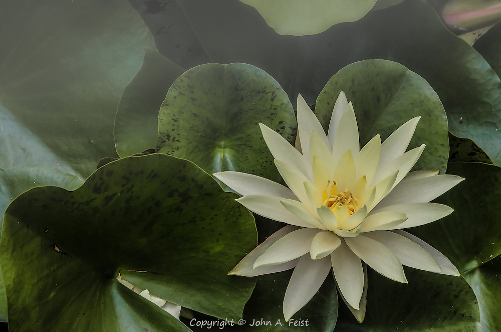 A touch of fog adds drama and mystery to this lotus.  The leaves are tightly packed, but you can see another blossom starting to emerge below one of the lower leaves.