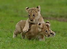 UK - Baby Lion Cubs Born At Blair Drummond Safari Park - 04 Oct 2016