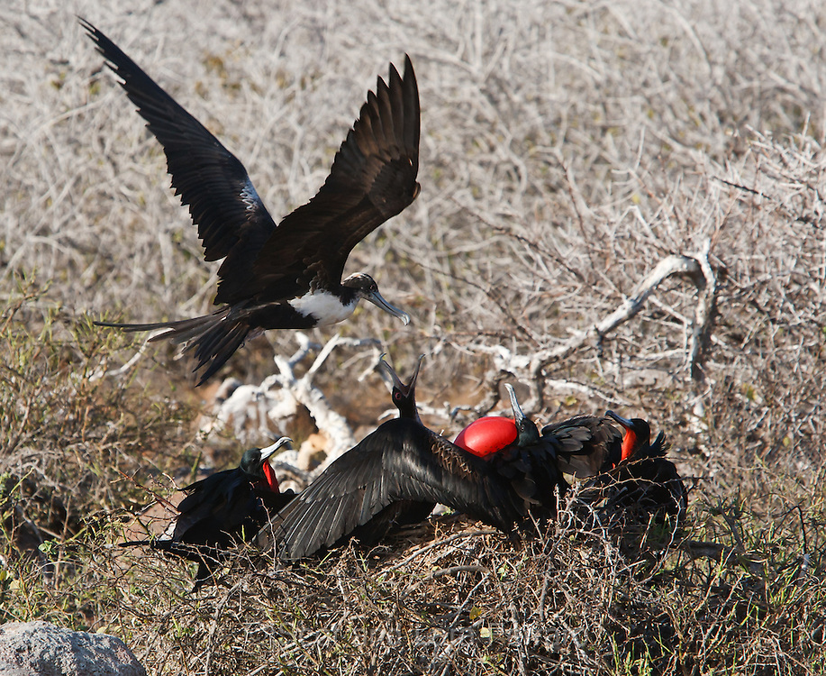 Male Frigatebirds gather and display their bright red gular sacs while a female flies over to check out the group.