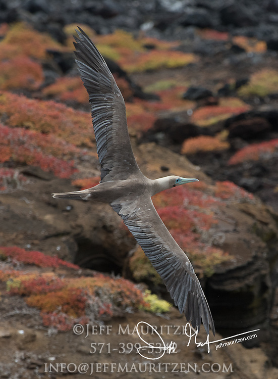 A Red-footed booby in flight over red Sesuvium at Punta Pitt, San Cristobal island, Galapagos archipelago of Ecuador.