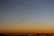Birds in flight, sunset, Industry, salt marsh, Brazoria National Wildlife Refuge, Brazoria County, Texas, Coastal,