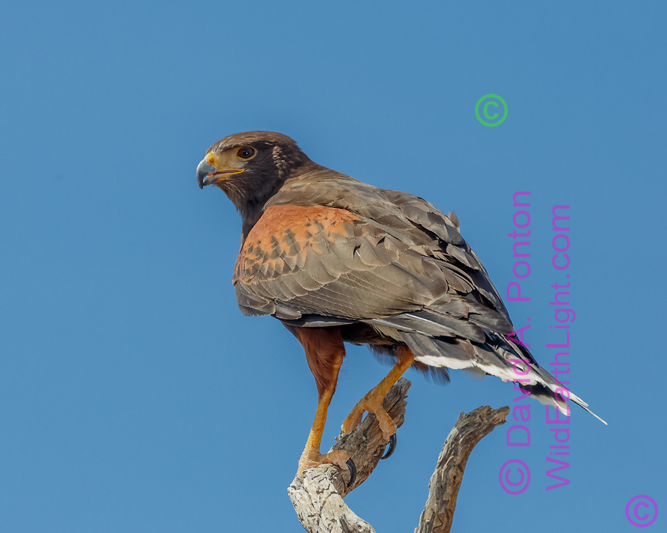 Hunting Harris's hawk on perch, alert, poised to go, © 2012 David A. Ponton