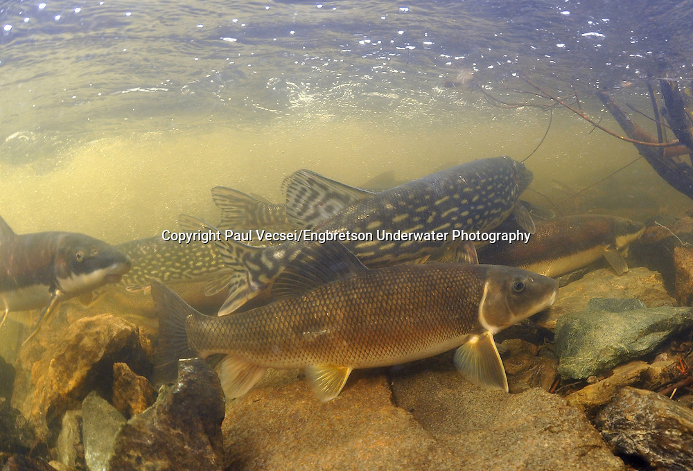 White Sucker (with Northern Pike)<br />