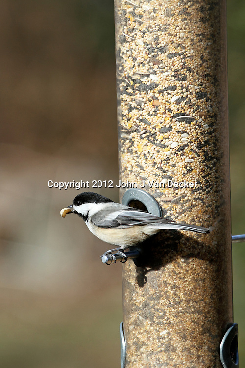 A Black-capped Chickadee, Poecile atricapillus, feeding at a tube feeder. Franklin Lakes, NJ, USA