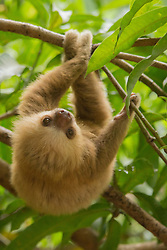 Costa Rica, baby sloth in tree