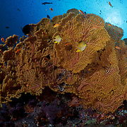 Unspoiled orange-yellow sea fan with golden damselfish and orange basslets in the Eastern Fields of Papua New Guinea