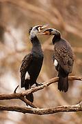 Great Cormorant (Phalacrocorax carbo) 2 on a dry tree, Hadera, Israel