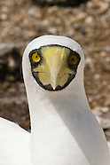 Masked Booby photos