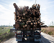 COGDELL, GA - DEC., 8, 2016: A logger with Axson Timber Company hauls a load of slash pine logs recently harvested from the Sessoms Timber Trust lands, Thursday, December 8, 2016, in Cogdell, Ga. (Photo by Stephen B. Morton for Georgia Forestry Magazine)