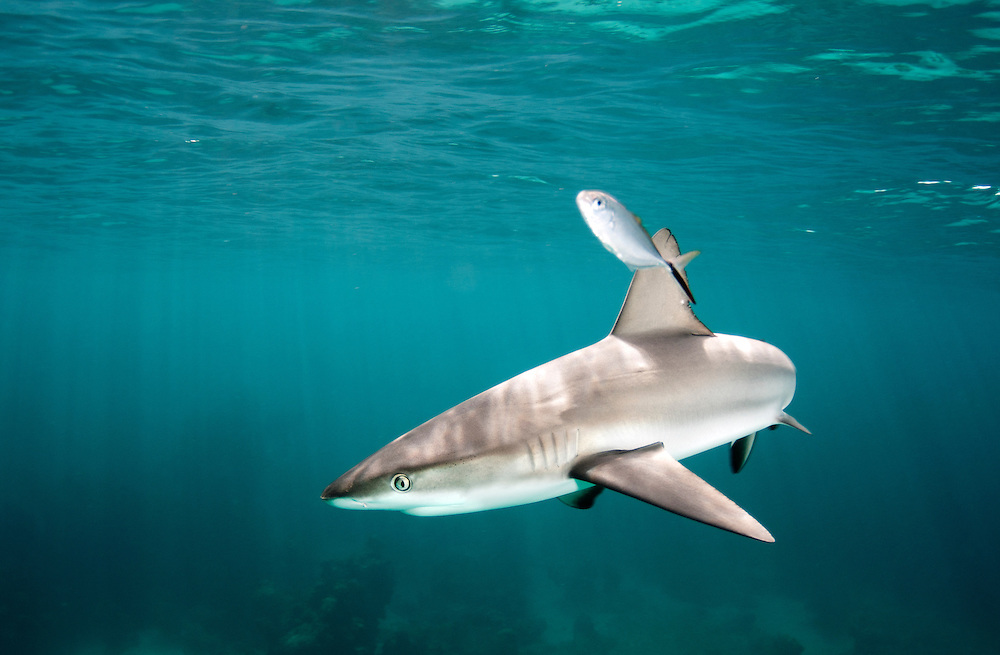 Juvenile Caribbean reef shark, Carcharhinus perezii. off Eleuthera, Bahamas.