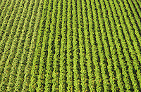Aerial view rows of grape vines vineyard Mornington Peninsula Victoria Australia