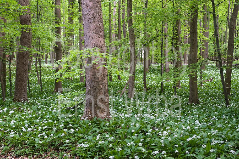 Wald, blühender Bärlauch bei Ilsenburg, Harz, Sachsen-Anhalt, Deutschland   forest, flowering wild garlic, Ilsenburg, Harz, Saxony-Anhalt, Germany
