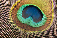 Indian Peafowl or Blue Peafowl detail feather (Pavo cristatus), India Image by Andres Morya