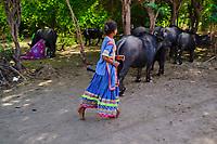 Inde, Gujarat, Kutch, village de Hodka, population d'ethnie Meghwal, traite des buffles // India, Gujarat, Kutch, Hodka village, Meghwal ethnic group, buffalo milking