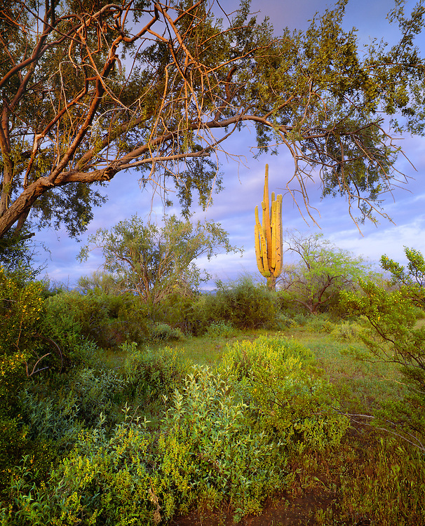 0122-1001C ~ Copyright: George H.H. Huey ~ Saguaro cactus [Carnegiea gigantea], ironwood tree [Olneya tesota] .  Ironwood Forest National Monument, Arizona.